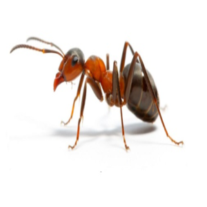 What kills sugar ants?
